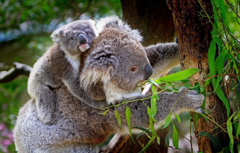 Photo wallpaper animals, leaves, trees, branches, nature, cub, Koala