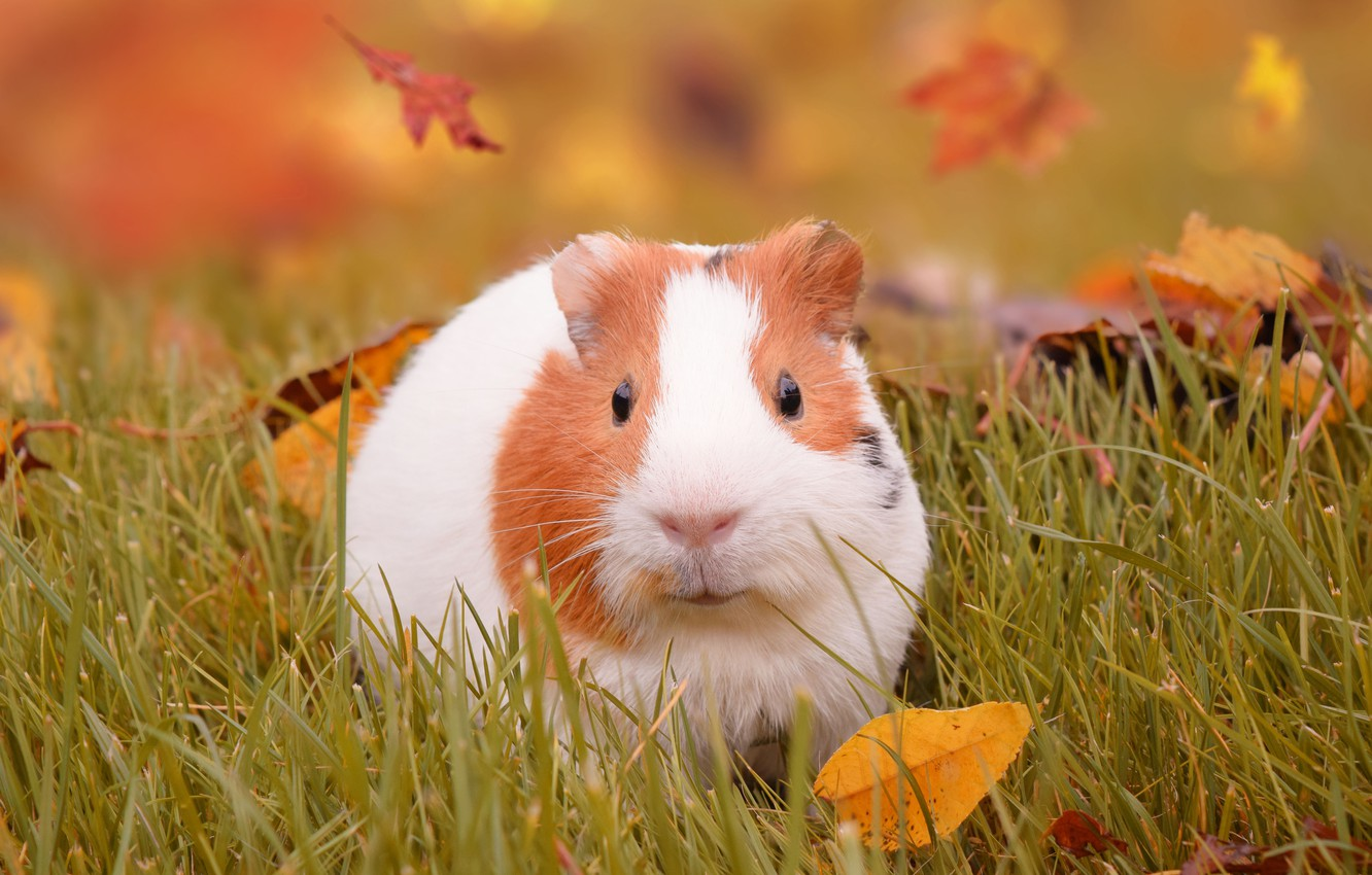 Photo wallpaper autumn, grass, leaves, Guinea pig