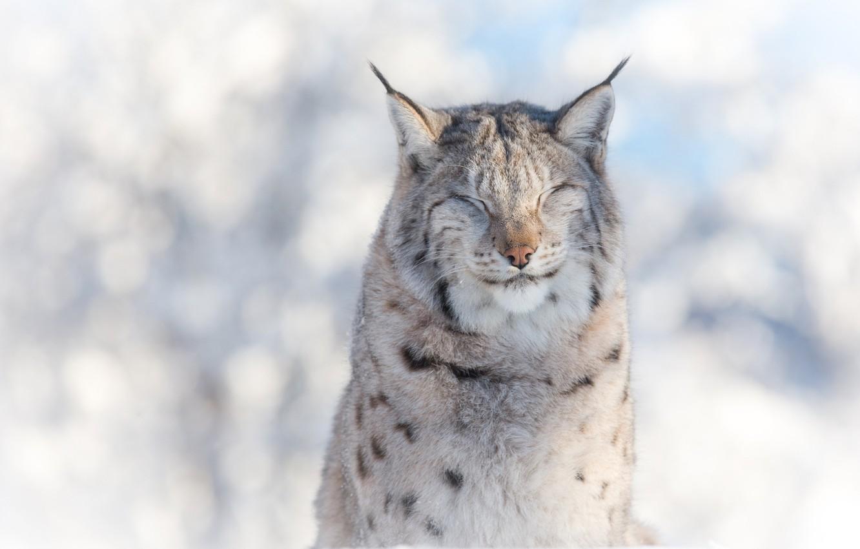 Photo wallpaper winter, face, portrait, predator, lynx, wild cat, squints