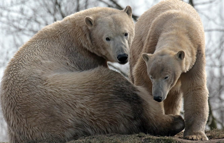 Photo wallpaper family, bears, pair, polar