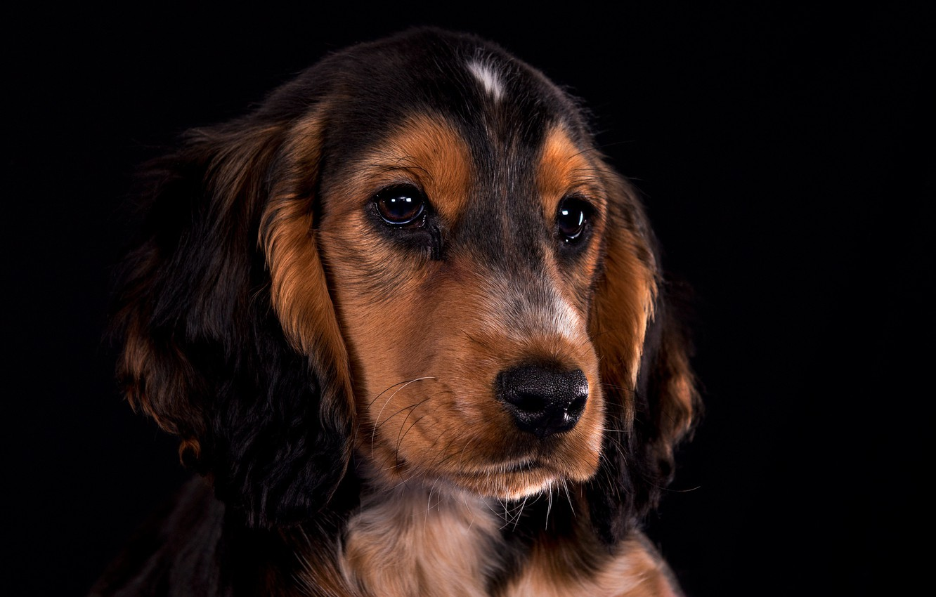 Photo wallpaper look, portrait, dog, puppy, face, black background, Cocker Spaniel
