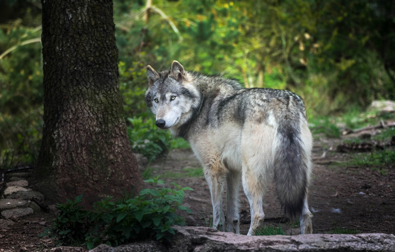 Photo wallpaper forest, summer, look, nature, pose, stones, grey, tree, foliage, wolf, turn, trunk