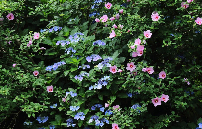 Photo wallpaper Flowers, flowering, bushes, Hibiscus