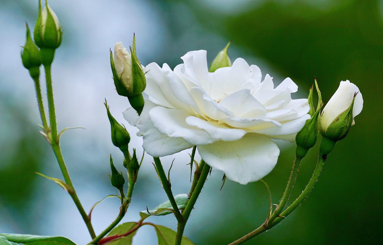 Photo wallpaper rose, white, buds