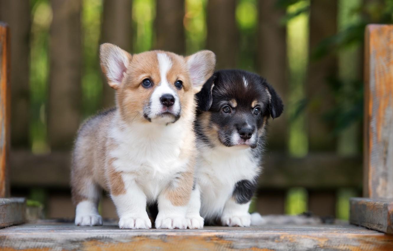 Photo wallpaper puppies, cute, Corgi