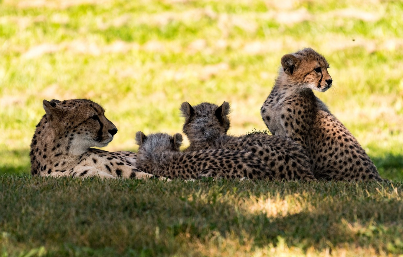 Photo wallpaper stay, predators, company, cheetahs, family, a mother with cubs