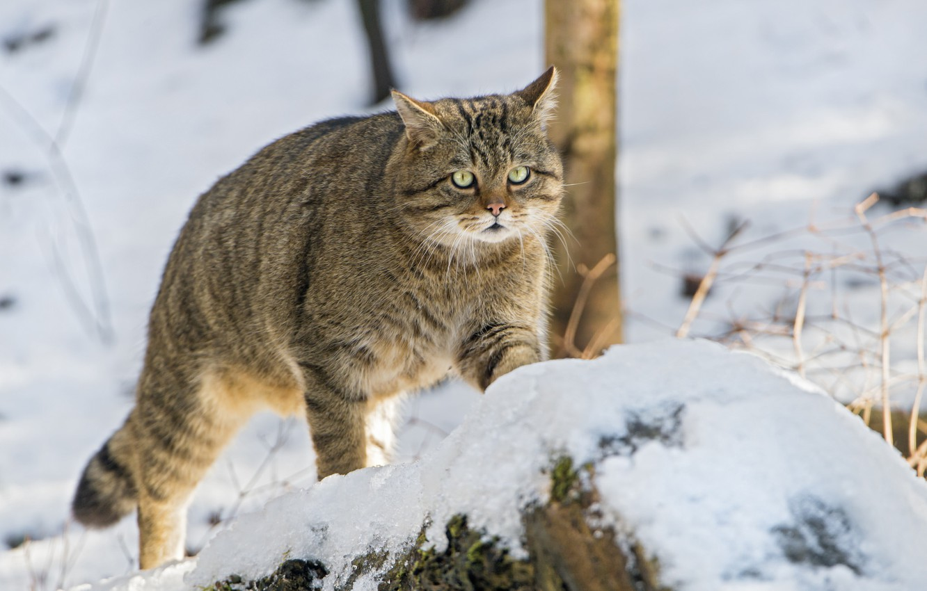 Photo wallpaper look, snow, wild cat