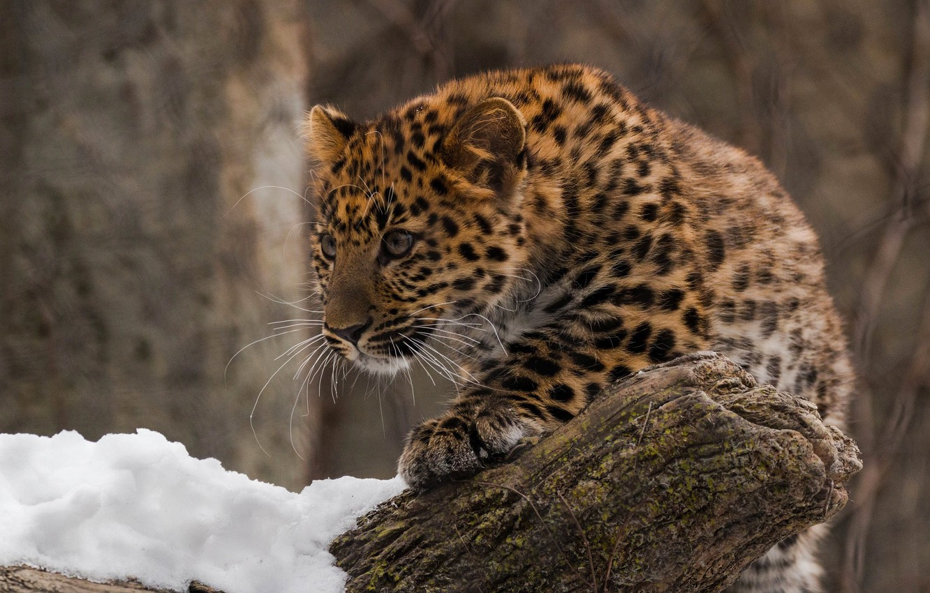 Photo wallpaper predator, leopard, cub, wild cat, zoo, far East, Amur