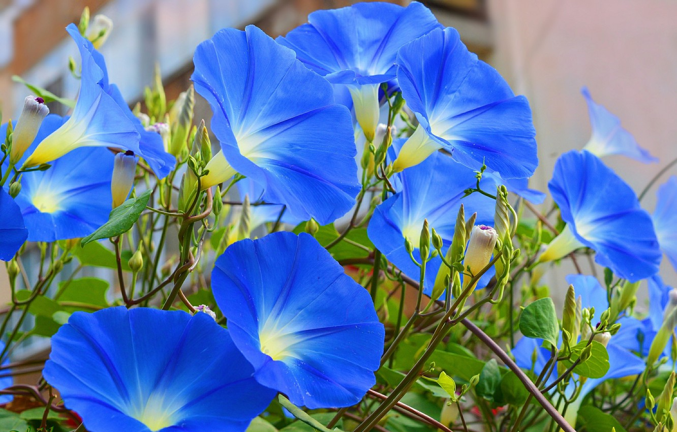 Photo wallpaper Flowers, Morning glory, Morning Glory, Blue flowers, Blue flowers