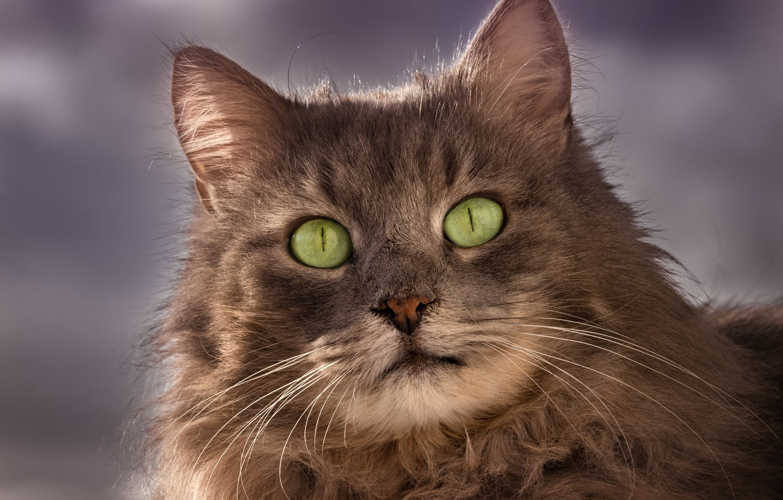 Photo wallpaper cat, cat, look, muzzle