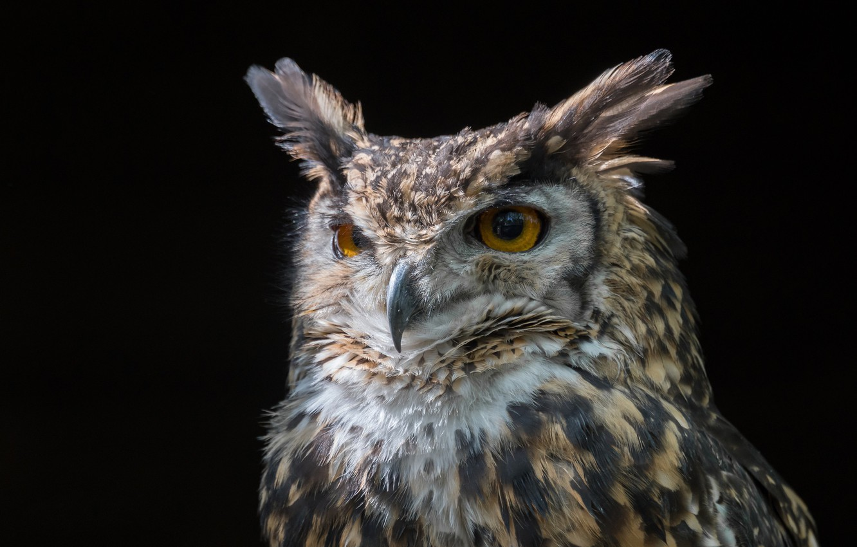 Photo wallpaper owl, portrait, black background, Owl