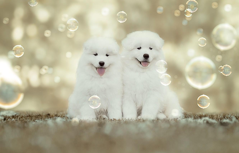 Photo wallpaper puppies, bubbles, kids, a couple, bokeh, Samoyed