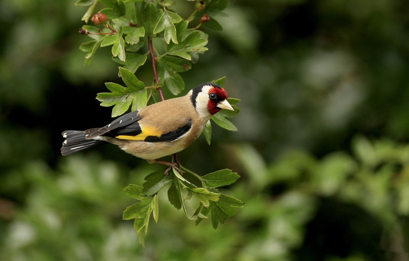 Photo wallpaper trees, branch, a careful look, Black-headed goldfinch (common goldfinch)