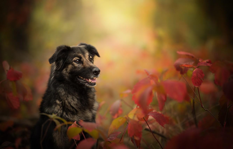 Photo wallpaper autumn, leaves, branches, dog, bokeh