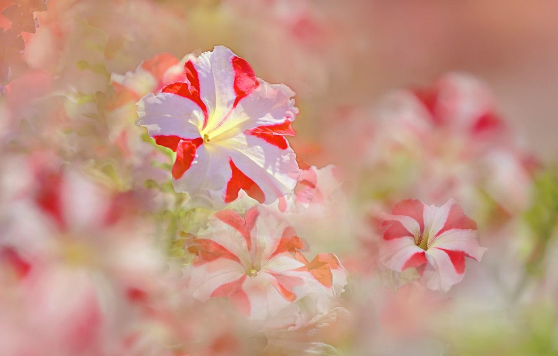 Photo wallpaper summer, flowers, flowering, petunias, white pink