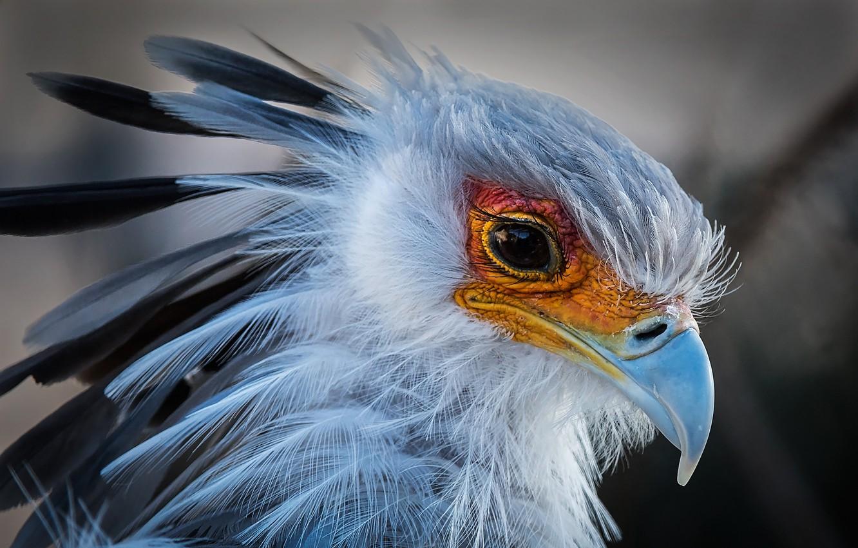Photo wallpaper bird, portrait, beak, Secretary, Secretary bird, yastrebovskaya