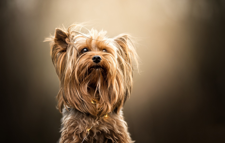 Photo wallpaper background, portrait, Yorkshire Terrier, dog