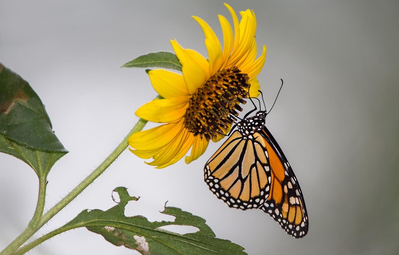 Wallpaper flower, butterfly, sunflower, moth, monarch ...