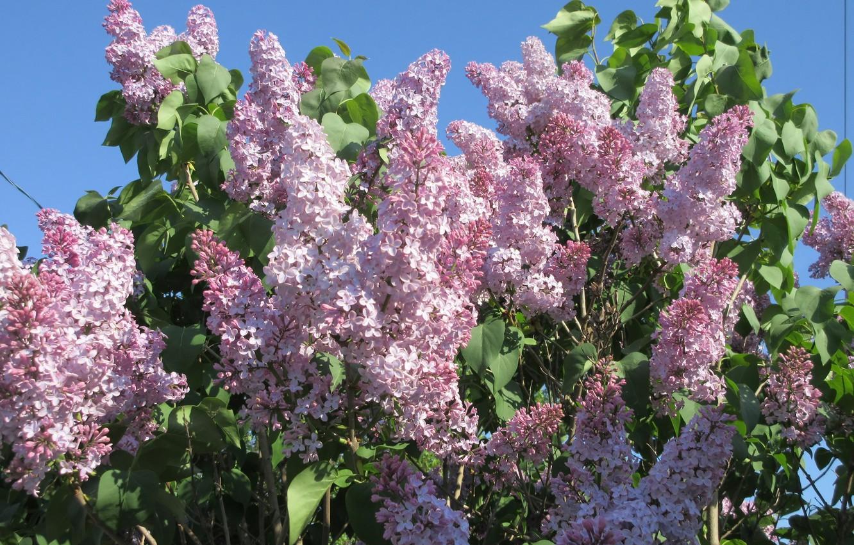Photo wallpaper flowers, Bush, lilac, spring 2018, Meduzanol ©