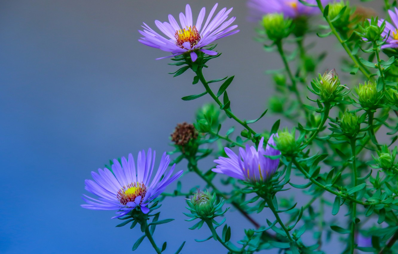 Photo wallpaper macro, background, buds, Asters