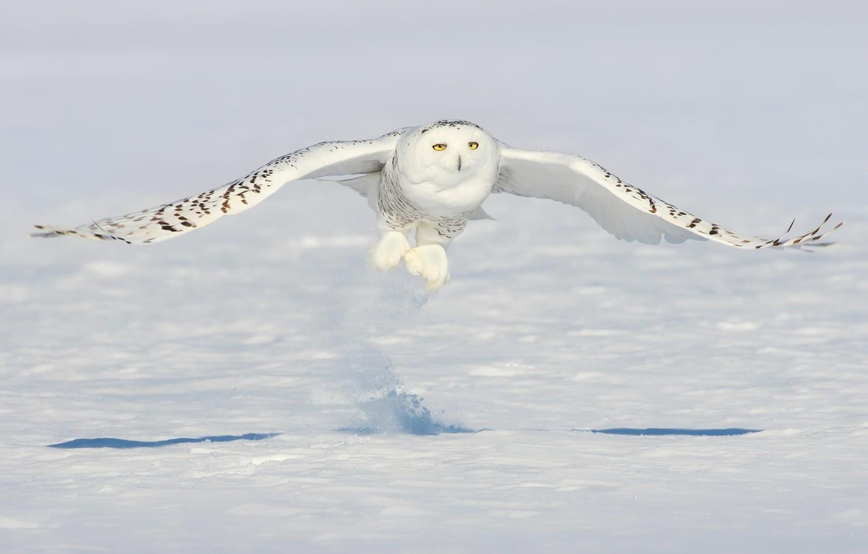 Photo wallpaper snow, owl, bird