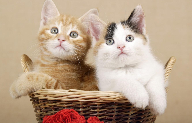 Photo wallpaper basket, kittens, Duo