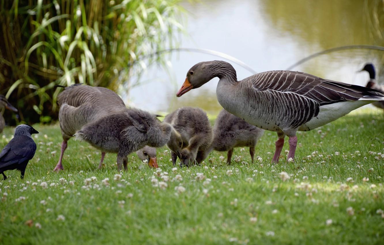 Photo wallpaper nature, children, Birds, mom, pond, geese
