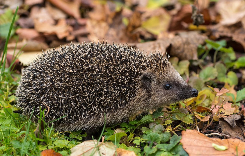 Photo wallpaper leaves, needles, hedgehog