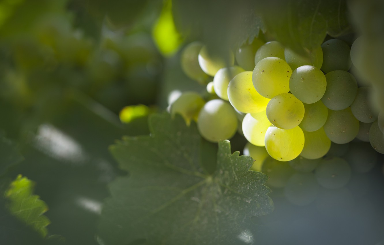 Photo wallpaper leaves, grapes, bunch, shrub