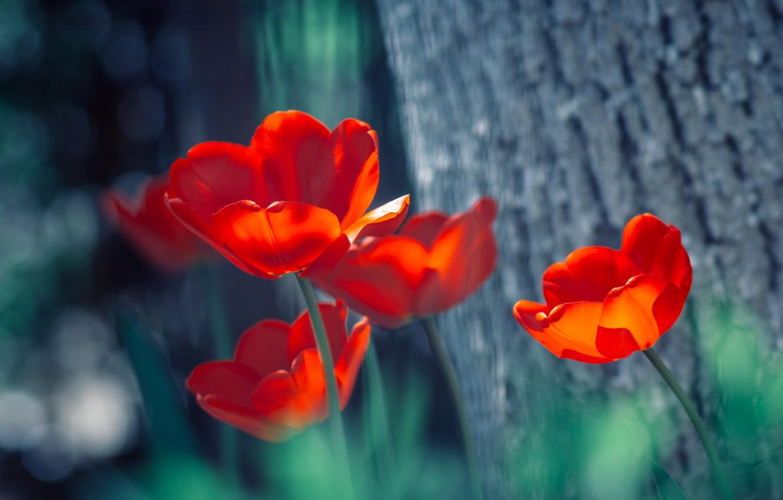 Photo wallpaper tulips, red, bokeh