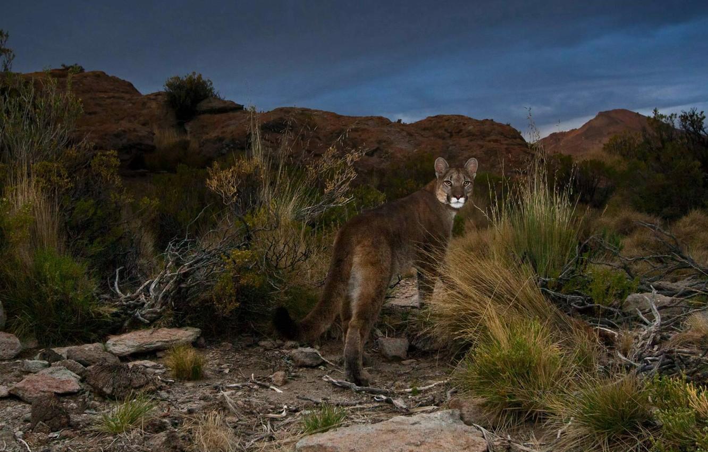Photo wallpaper cat, Puma, Argentina, Andes