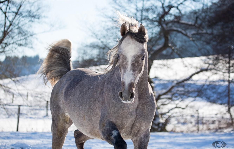 Photo wallpaper face, grey, horse, horse, posing, (с) Oliver Seitz