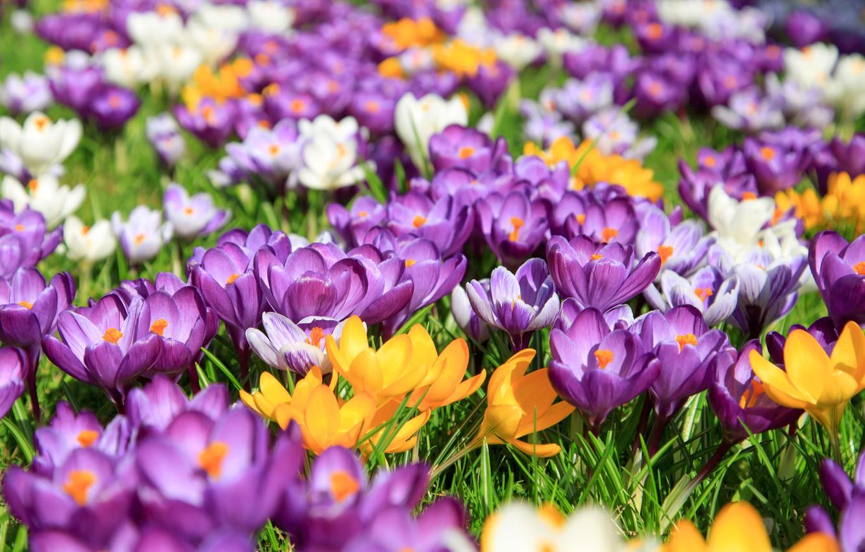 Photo wallpaper Flowers, Nature, Spring, Flowering, Crocuses