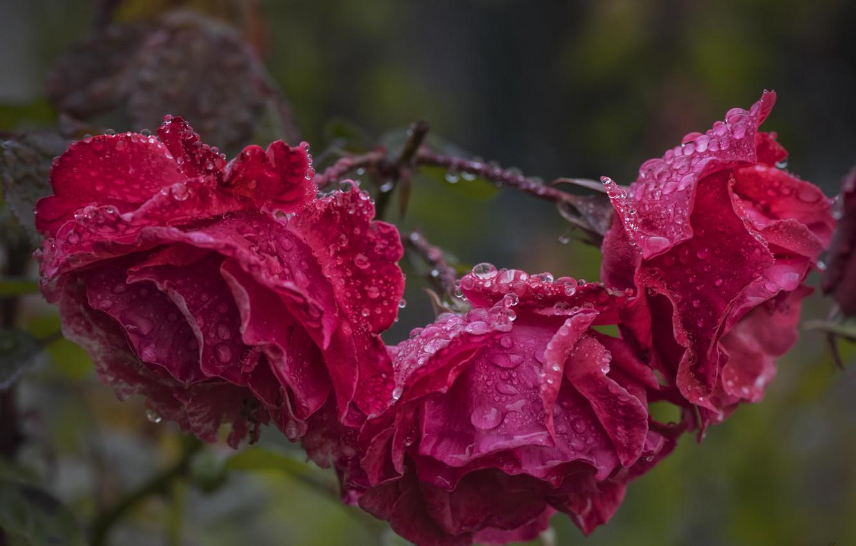 Photo wallpaper drops, roses, after the rain
