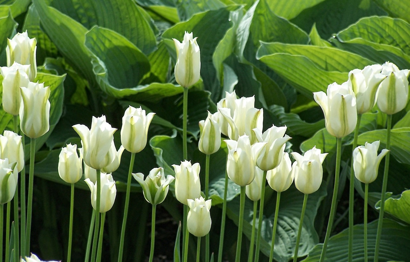 Photo wallpaper greens, leaves, flowers, stems, spring, sunlight, white tulips, light and shadow