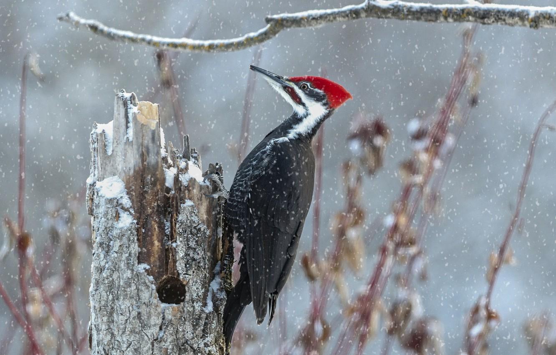 Photo wallpaper snow, bird, stump, branch, woodpecker