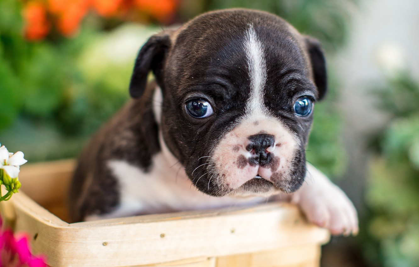 Photo wallpaper look, basket, baby, puppy, face, French bulldog