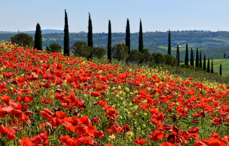 Photo wallpaper field, Maki, meadow, Italy, poplar