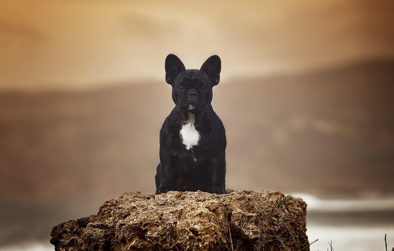 Photo wallpaper background, portrait, dog, French bulldog