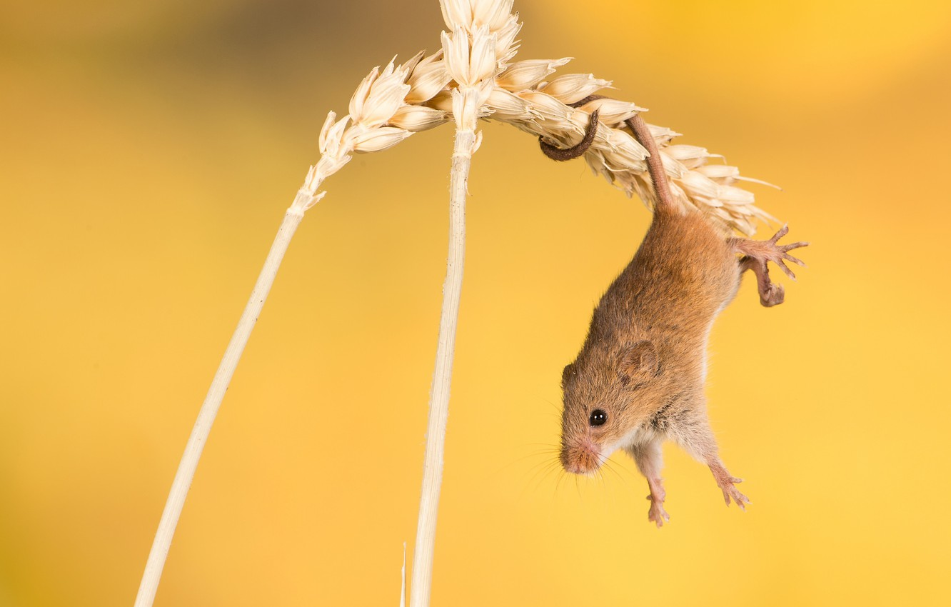 Photo wallpaper background, mouse, spikelets, rodent, acrobatics, The mouse is tiny