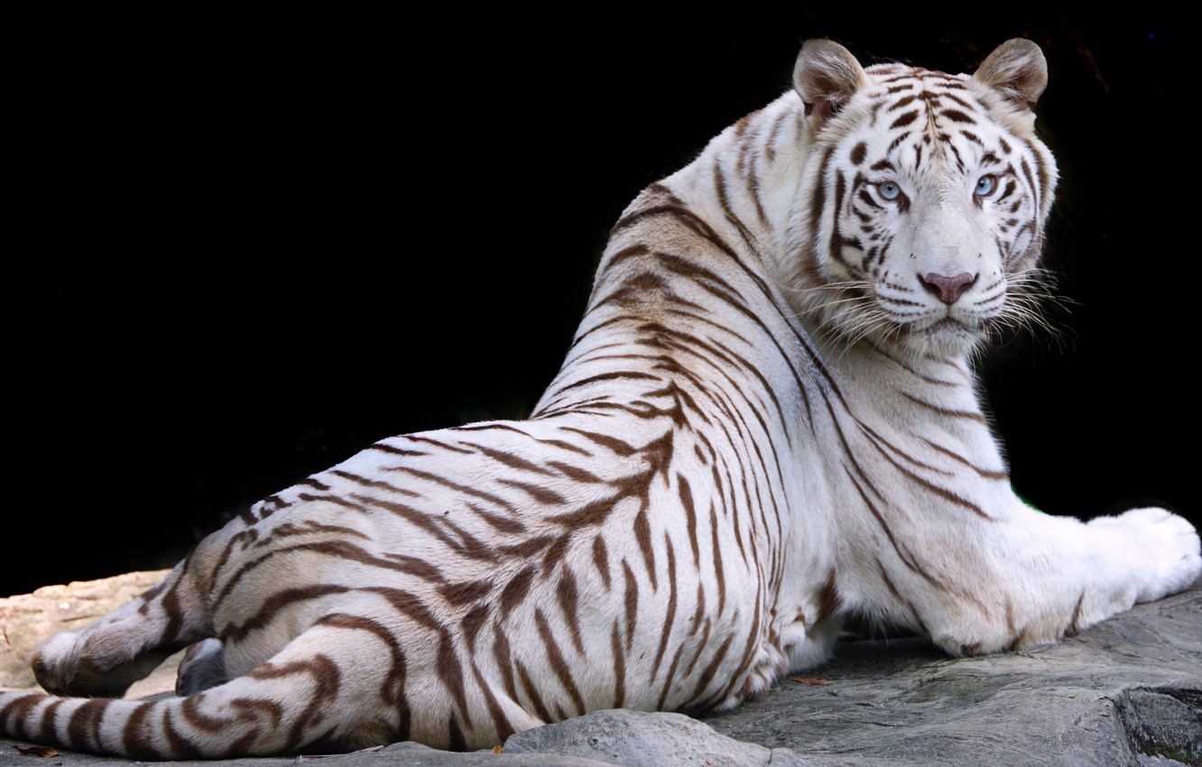 Photo wallpaper white, nature, tiger, animal, stay