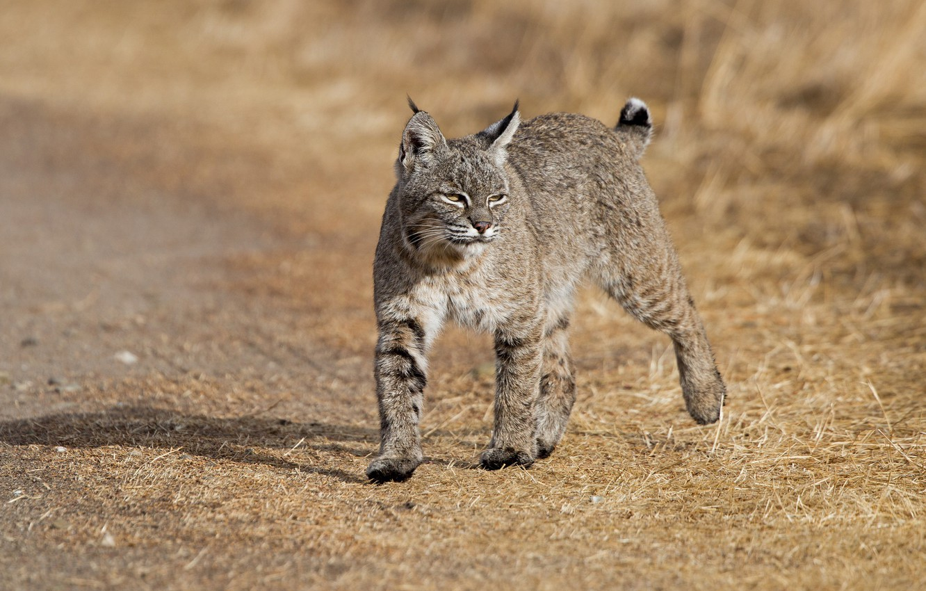 Photo wallpaper nature, animal, lynx