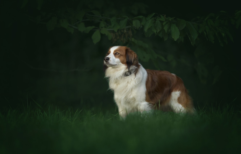 Photo wallpaper nature, dog, Australian shepherd, Aussie