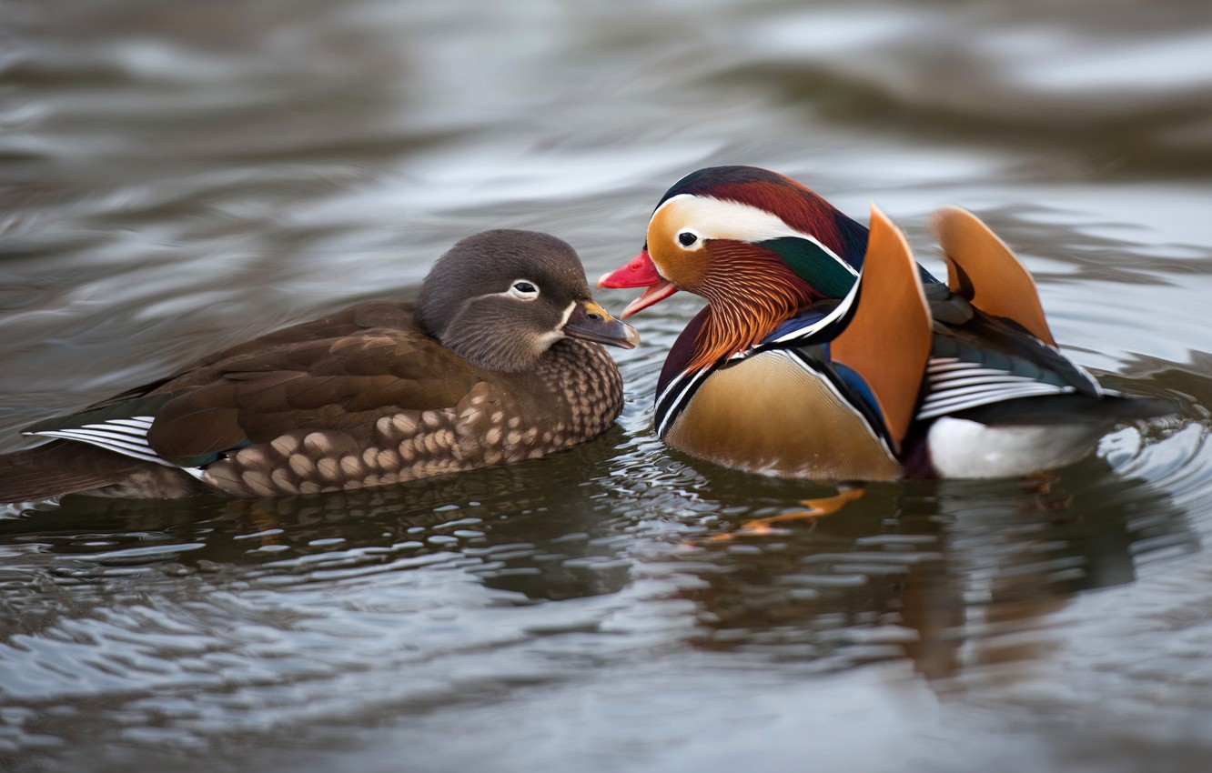 Photo wallpaper water, love, birds, nature, pond, duck, pair, lovers, duck, pond, female, male, bright plumage, tangerine, …
