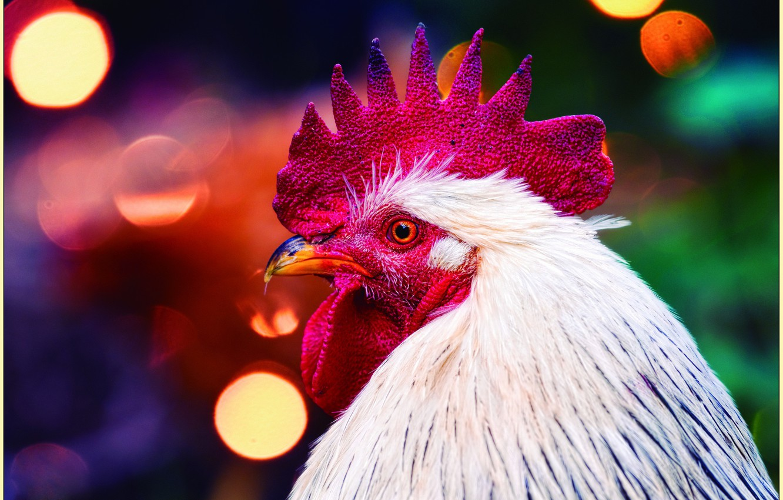 Photo wallpaper birds, beak, comb, cock, symbol 2017