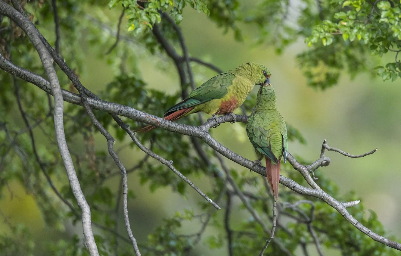Photo wallpaper birds, branches, kiss, parrots, a couple, Emerald parrot