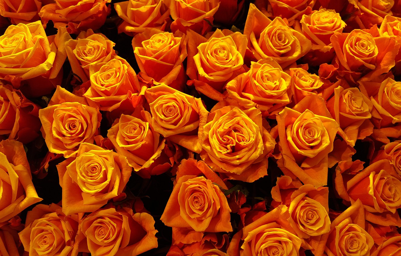 Wallpaper flowers, bright, rose, roses, yellow, petals