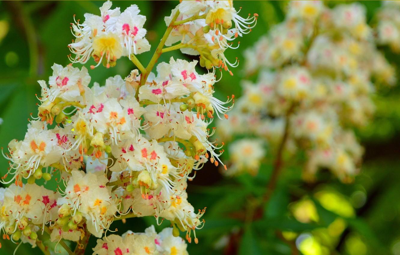 Photo wallpaper Spring, Spring, chestnut, Flowering, Flowering