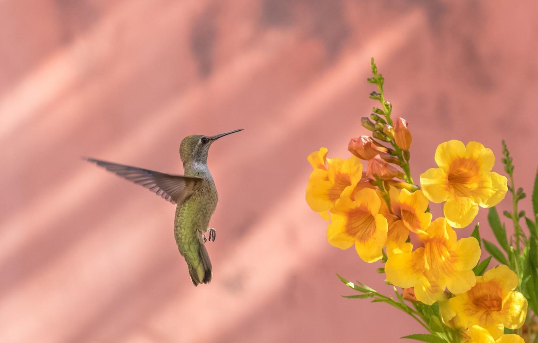 Photo wallpaper flowers, bird, feathers, beak, Hummingbird, Calypte Anna, bignonia