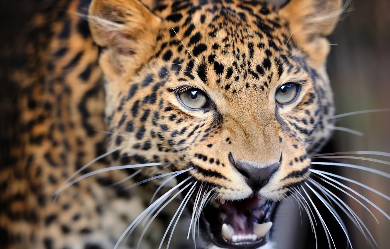 Photo wallpaper close-up, blur, leopard, wild cat, leopard, animals, nature, bokeh, travel, wallpaper., my planet, predator hunter, …